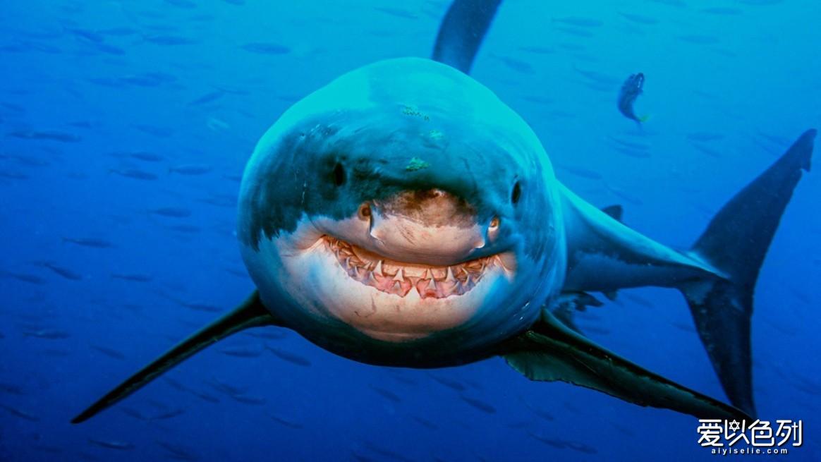 【这条大白鲨似乎在对摄影师微笑。照片©Amos Nachoum】