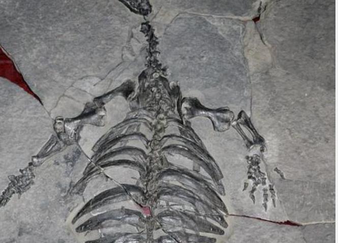 贵州关岭:发现2.28亿年前龟化石
